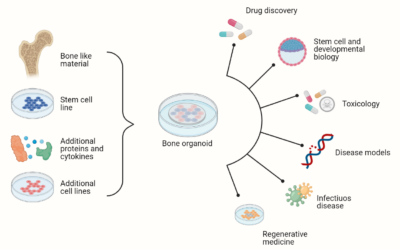 What are organoids and why are they important?